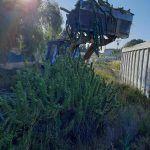 Ayuntamiento de Novelda 05-6-150x150 Medio Ambiente retira más de 10 toneladas de cactus Cylindropuntia del cauce del río