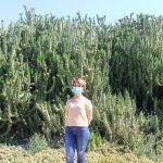 Ayuntamiento de Novelda 06-6-150x150 Medio Ambiente retira más de 10 toneladas de cactus Cylindropuntia del cauce del río