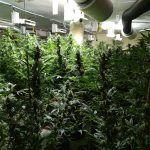 Ayuntamiento de Novelda WhatsApp-Image-2020-12-28-at-08.41.42-1-150x150 Policia Local localitza una important plantació de marihuana en una finca rural