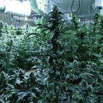 Ayuntamiento de Novelda WhatsApp-Image-2020-12-28-at-08.41.42-150x150 Policia Local localitza una important plantació de marihuana en una finca rural