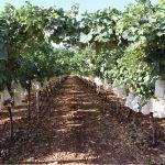 Ayuntamiento de Novelda 03-1-150x150 Novelda apela al consumo de proximidad para potenciar la uva de mesa embolsada